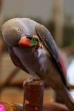 Птица попугая малая на телефоне Стоковое Фото
