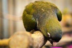 Птица попугая малая на телефоне Стоковые Фотографии RF