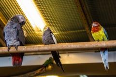 Птица попугая малая на телефоне Стоковые Изображения RF