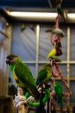 Птица попугая малая на телефоне Стоковая Фотография