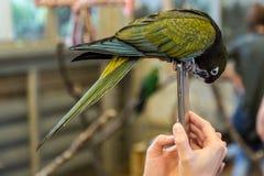 Птица попугая малая Стоковые Фотографии RF