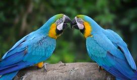 Птица попугая (строгая ара) стоковые изображения