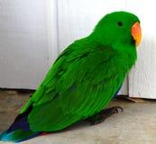 Птица попугая Eclectus экзотическая выделяющийся зеленая Стоковые Изображения
