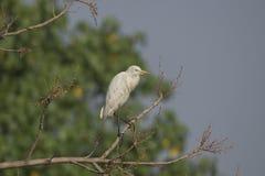 Птица: Портрет белого Egret садить на насест на дереве Стоковая Фотография RF