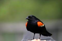 Птица подогнали красным цветом, котор назад Стоковое фото RF