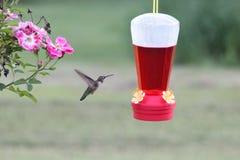 Птица припевать Стоковые Фотографии RF