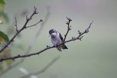 Птица припевать Стоковое Изображение RF