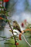 птица припевая Стоковые Изображения RF