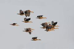 Птица, птица Таиланда, меньшей Свистеть-утки Стоковые Изображения