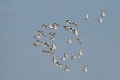Птица, птица Таиланда, птиц миграции Стоковое Фото