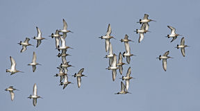 Птица, птица Таиланда, Черно-замкнула веретенника Стоковое Фото