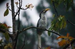Птица птицы-носорог Шри-Ланки серая стоковые изображения rf