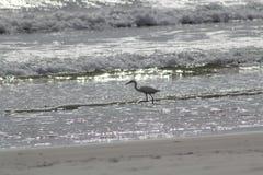 Птица пляжа Флориды Стоковое фото RF