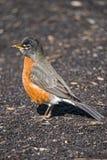 птица раньше получает глиста Стоковое фото RF