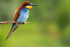 Птица рая сидя на предпосылке зеленого цвета ветви Стоковые Изображения