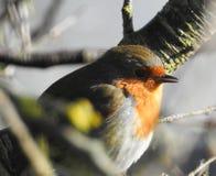 Птица Робина в солнечности зимы садить на насест в дереве стоковые фотографии rf