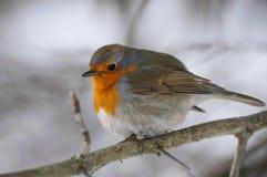 Птица робина на ветви Стоковая Фотография RF