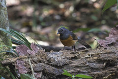 Птица Робина сороки Стоковые Фото