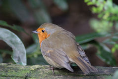 Птица Робина стоковые изображения rf