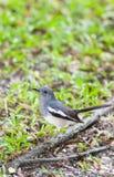 Птица Робина Magpie Femal востоковедная (saularis Copsychus) Стоковые Изображения RF