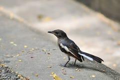 Птица (робин сороки) Стоковая Фотография RF