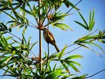 Птица садилась на насест на ветви бамбука Стоковые Изображения