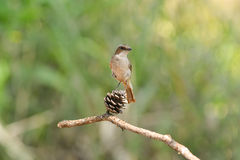 Птица, серое Bushchat (ferreus Saxicola) Стоковое Изображение
