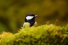 Птица сидя на ветви дерева лишайника, маленькая птица большого майора синицы, Parus, черных и желтых в среду обитания леса природ Стоковые Изображения