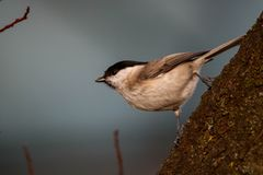 Птица синицы вербы на дереве стоковая фотография rf