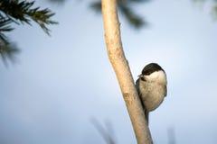 Птица синицы на ветви Стоковые Изображения RF