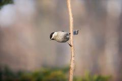 Птица синицы на конце ветви вверх Стоковое Изображение RF