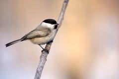 Птица синицы на конце ветви Стоковые Фотографии RF