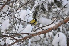 Птица сидя на ветви, ландшафт синицы зимы Стоковое Изображение
