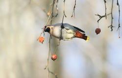 Птица смертная казнь через повешение Waxwing на ветви с яблоками в парке дальше Стоковые Фото