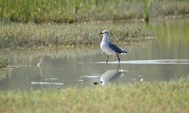 Птица смеясь над чайки в охраняемая природная территория соленом болоте, острове Pickney национальная, США Стоковое Фото