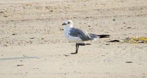 Птица смеясь над чайки на песчаном пляже, Hilton Head Island Стоковые Изображения