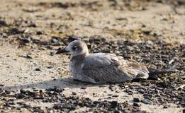 Птица смеясь над чайки на песчаном пляже, Hilton Head Island Стоковое фото RF