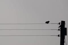Птица смотря на право на sihouette провода телефона Стоковое Изображение