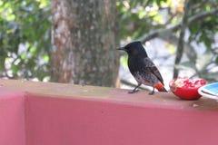 Птица смотря, что вокруг иметь шанс съесть гранатовое дерево стоковое изображение