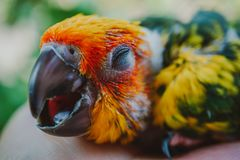 Птица Солнца Conure крупного плана стоковая фотография