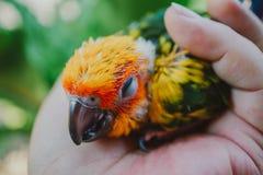 Птица Солнца Conure крупного плана стоковые фотографии rf