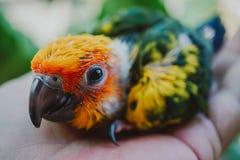 Птица Солнца Conure крупного плана стоковая фотография rf