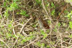 Птица соловья в кусте Стоковые Фото
