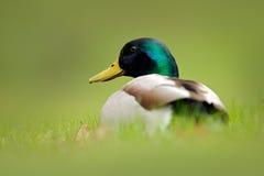 Птица спрятанная в траве Кряква птицы воды, platyrhynchos Anas, с отражением в воде Утка в зеленой поверхности Все еще w Стоковая Фотография