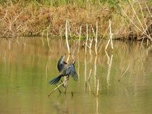 Птица стоя на ручке в болоте Стоковые Изображения RF
