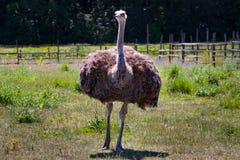 Птица страуса в ферме Стоковые Изображения
