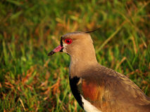 Птица с красными глазами Стоковые Изображения