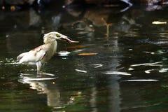 Птица с рыбами Стоковое Изображение