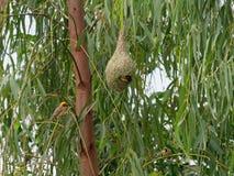 Птица ткача насиживая внутри своего гнезда сделанного сухой травой или соломой со своей семьей Стоковые Изображения