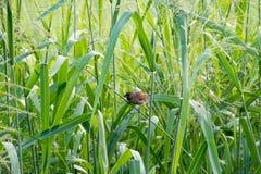 Птица ткача Стоковые Изображения RF